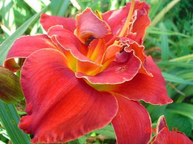 лилейник (daylily)