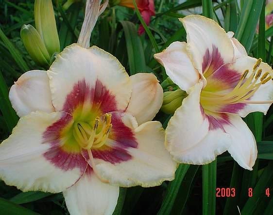 лилейник (daylily) Raspberry Candy