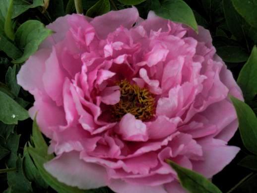 ирисы лилейники лилии семена розовых дельфиниумов на